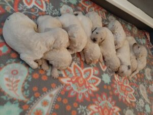 poodle puppies in a pile